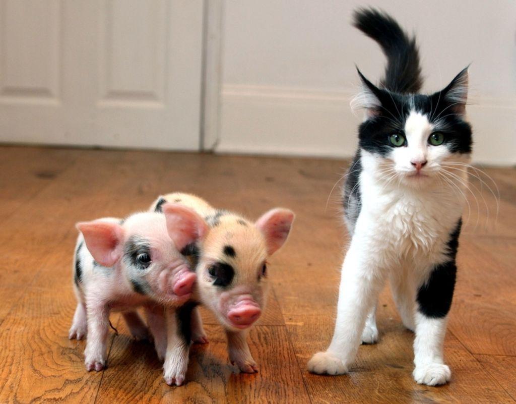 Эти животные сообразительны и игривы, они замечательно ладят с кошками
