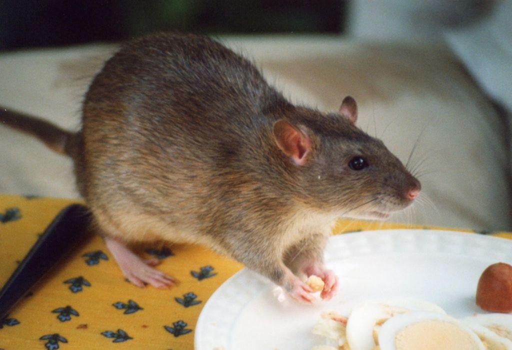Крысы лучше откликаются на клички, в которых встречаются буквы К, С, Ш, Р, М, Н, Л и Т