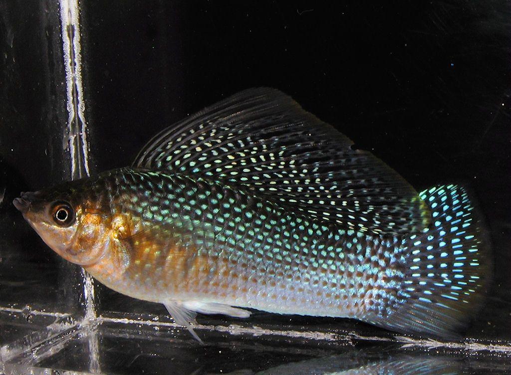 Моллинезия высокоплавничная является тепловодной рыбкой
