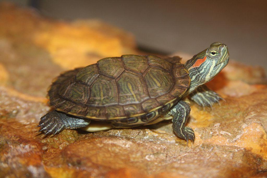 Для красноухих черепах должна быть в диапазоне +26-28 градусов