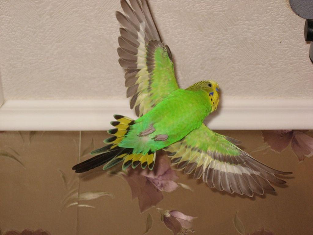 Чаще всего травмы происходят, если птицы свободно летают по квартире