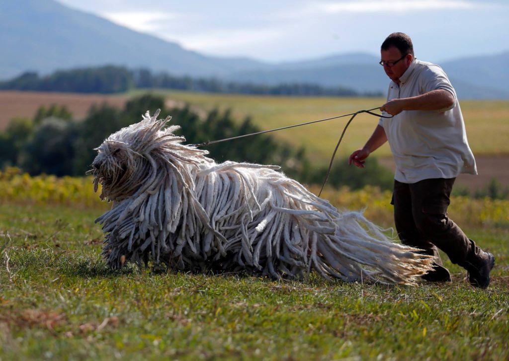Венгерская овчарка комондор