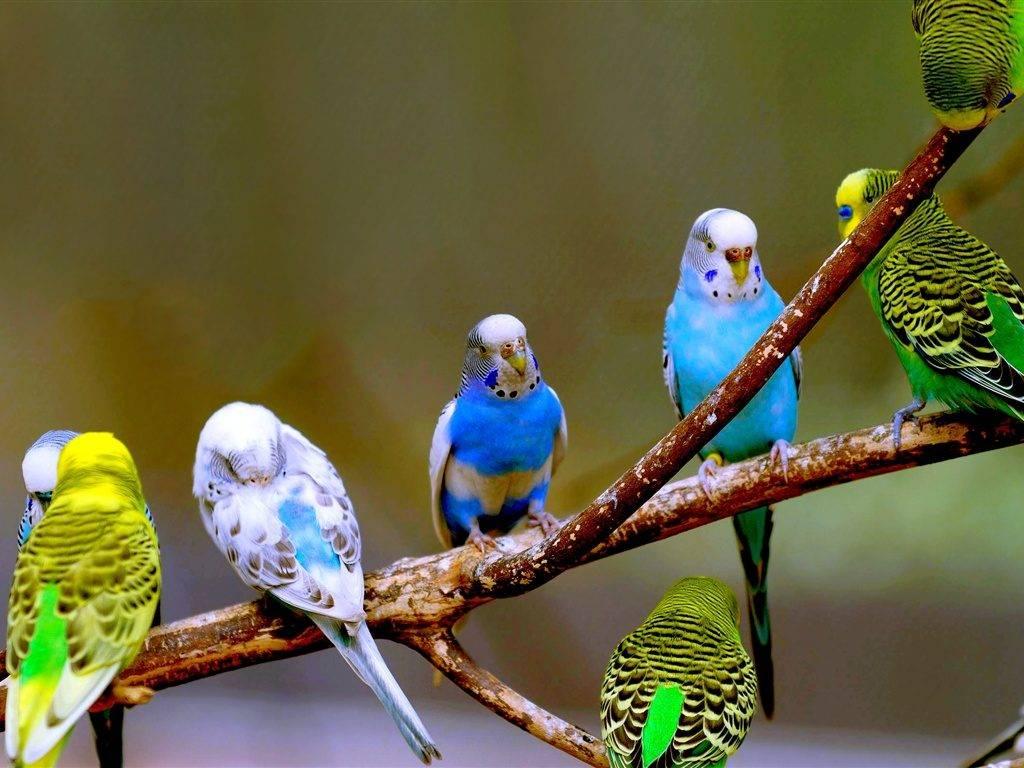 Одним из плюсов волнистого попугая, является простота определения его пола