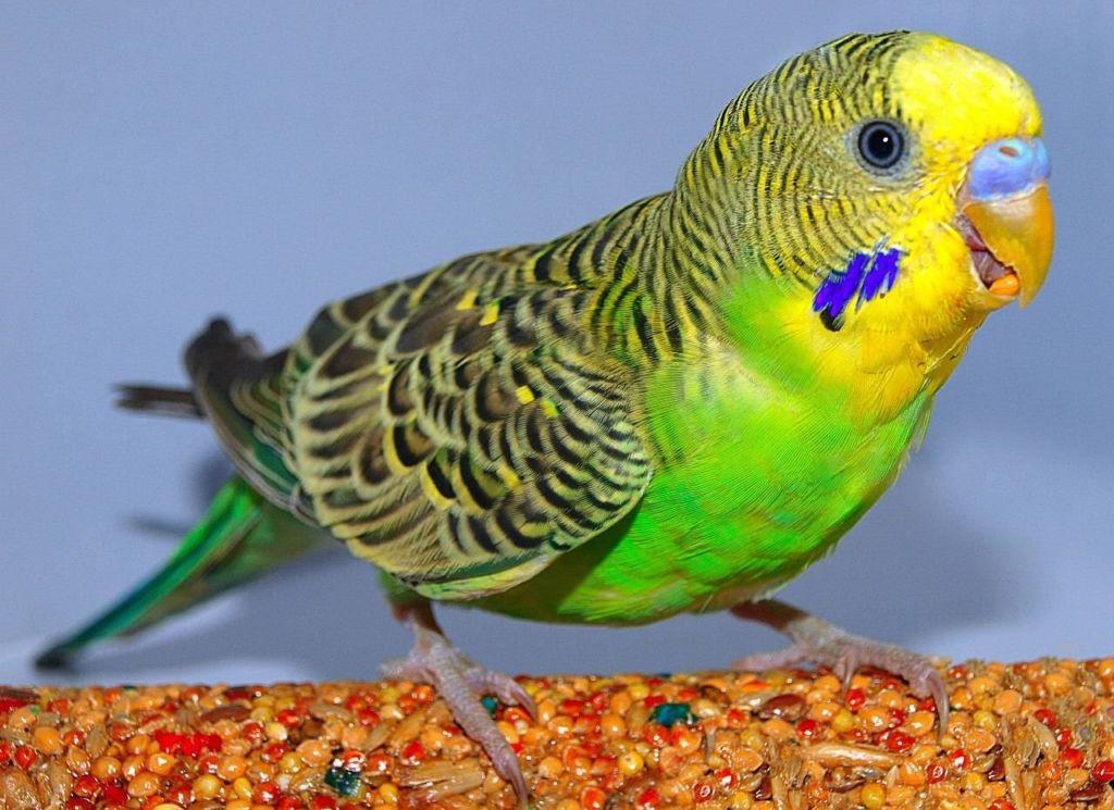 В домашних условиях в рационе попугайчика следует придерживаться разнообразия